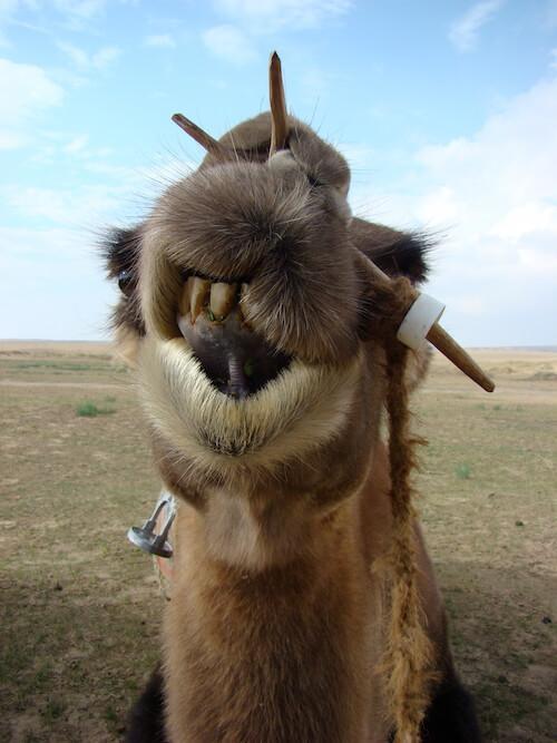 Kamel Mongolei