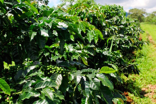 Bolaven Plateau Kaffee