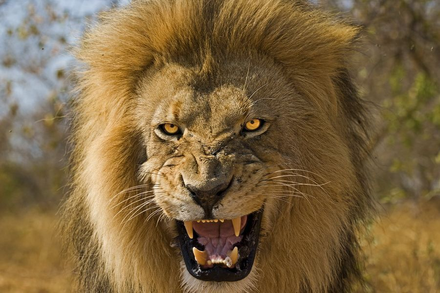Löwe Aggressiv
