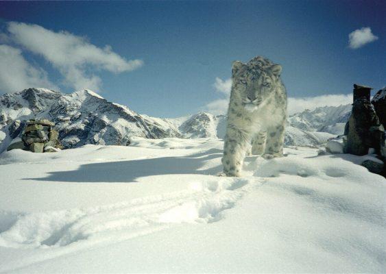 Schneeleopard Thomas Bauer