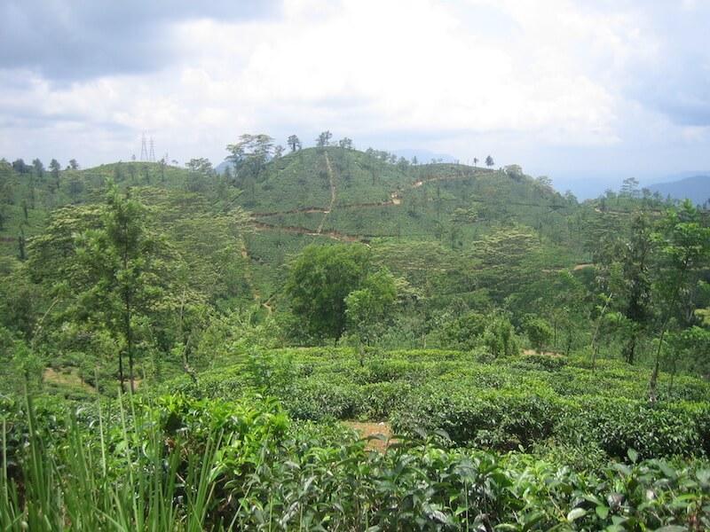 Teeplantagen_Hochland Sri Lanka