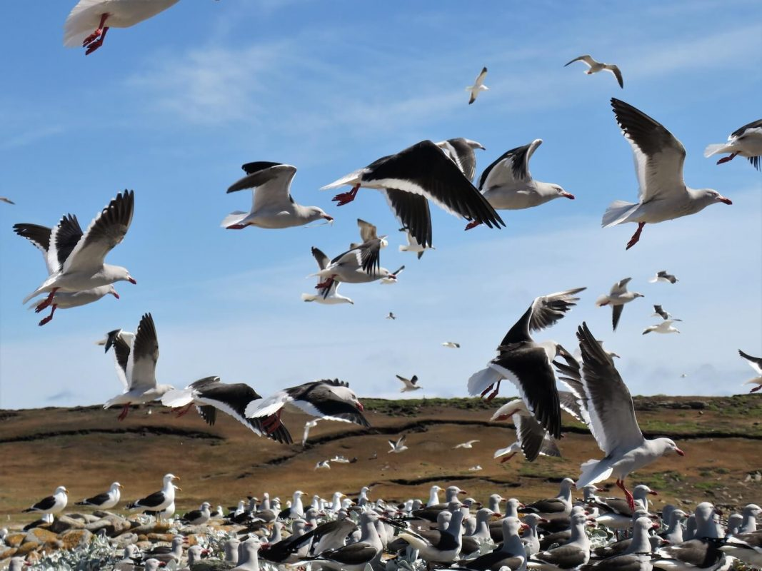 Möwen Falklandinseln