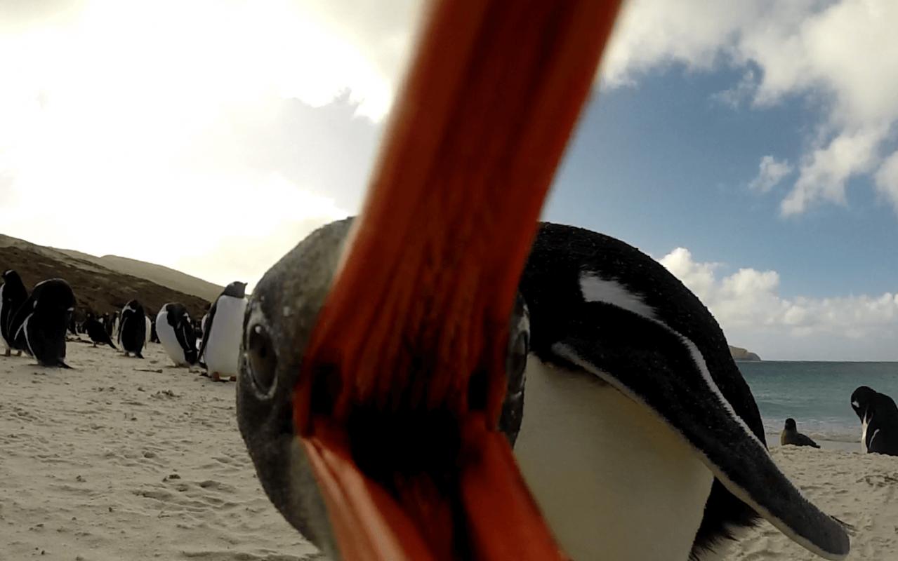 Eselspinguin Falklandinseln