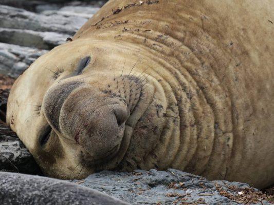 Seeelefant Falklandinseln