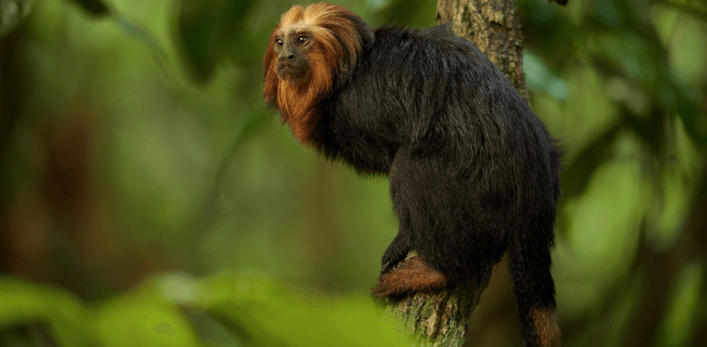 Weltwach Wald Affe